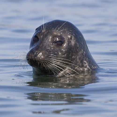 Seal photo by mkebaird